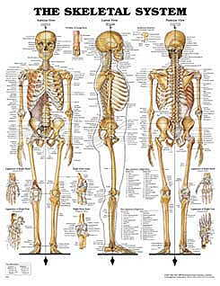 Skeletal System Chart (Flexible Lamination) (View larger image)