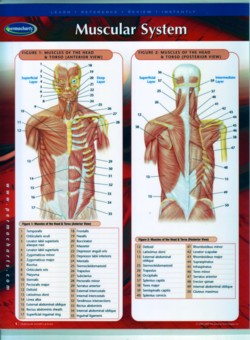Muscular System Chart (Binder size) (View larger image)